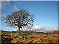NY4500 : Large tree on Hugill Fell : Week 50