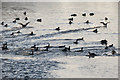 SP9113 : Some coots join others in open water on Startops Reservoir, near Tring by Chris Reynolds