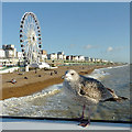 TQ3103 : Brighton beach and seafront, with gull and wheel : Week 1 winner