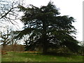 TL7604 : Cedar Tree in Danbury Country Park by Lewis Potter