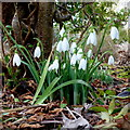 SO6424 : Galanthus nivalis by Jonathan Billinger