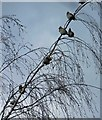 SE4202 : A waxwing winter at RSPB Old Moor by Steve  Fareham