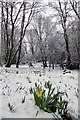 TQ5891 : The Daffodil Bank Warley Place by Glyn Baker