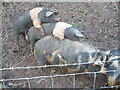SO5310 : Pig pile-up by Jeremy Bolwell