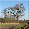 TL9614 : Oak on field boundary, Abbotts Hall Farm by Roger Jones
