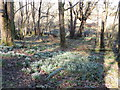 NX0163 : Aldouran Woodland, Snowdrops by Billy McCrorie
