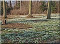 SK6185 : Hodsock snowdrops by Steve  Fareham