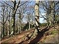 SK3257 : Hillside beech woodland by Andrew Hill