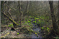 SP0583 : American skunk-cabbage in the woods below Edgbaston Pool by Phil Champion