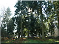 TL8426 : Grove of Conifers In Marks Hall by Lewis Potter