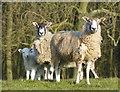 SP8296 : Ewes and lambs near Bolt Wood : Week 10