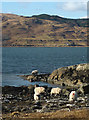 NM5237 : Sheep foraging by Loch na Keal by Karl and Ali