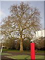 TQ2279 : Plane tree, Ravenscourt Park by Derek Harper
