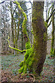 SP0513 : Moss on Tree, Chedworth by Christine Matthews
