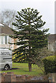 TR1256 : Monkey Puzzle Tree, Ashford Road, Canterbury by Julian P Guffogg