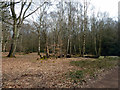 TQ4499 : Group of  birches, Epping Forest by Robin Webster