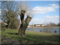 SP0466 : Pollarded willow by Lodge Pool, Lodge Park, Redditch by Robin Stott