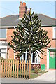 SK9669 : Monkey Puzzle Tree, Moorland Avenue, Lincoln by J.Hannan-Briggs
