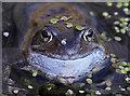 NY0565 : A frog at Caerlaverock Wetland Centre by Walter Baxter