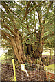 TQ6344 : Ancient Yew by Richard Croft
