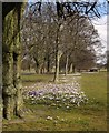 SE3155 : Crocuses on The Stray, Harrogate by Derek Harper