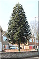 TF3525 : Monkey Puzzle Tree, Boston road by J.Hannan-Briggs