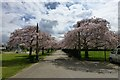 SK5438 : Avenue of cherry trees by David Lally