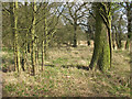 TL8027 : Narrow strip of woodland near Moat Farm by Roger Jones