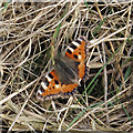 TL8026 : Small Tortoiseshell (Aglais urticae) by Roger Jones