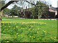 TQ2376 : Daffodils at Fulham Palace by Ian Yarham