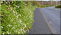 J5383 : Wild garlic, Groomsport by Albert Bridge