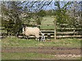 SP3346 : Sheep and lamb by the footpath by David P Howard