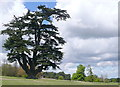 SU6595 : Cedar in Brightwell Park by Graham Horn