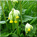 SK4833 : Cowslips (Primula veris) by David Lally