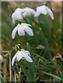 SP0513 : Snowdrops (Galanthus), Chedworth, Gloucestershire by Christine Matthews