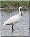 TF8944 : Distinctive bill of the Spoonbill by Pauline Eccles