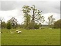 SJ8475 : Sheep Pasture, Nether Alderley by David Dixon