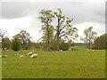 SJ8475 : Sheep Pasture, Nether Alderley by David Dixon