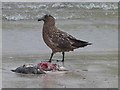 HU3718 : Bonxie on Scousburgh beach : Week 21