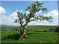 SO3895 : Old tree on Adstone Hill, Shropshire : Week 22
