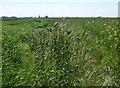 TL4180 : Overgrown fenland dike by Richard Humphrey