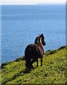 SX1750 : Pony looking across Lantivet Bay near Lansallos, Cornwall by Edmund Shaw