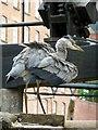 SJ8498 : Heron fishing in the Rochdale Canal : Week 26