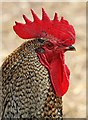 NT6713 : A bantam cockerel at Jedburgh Deer and Farm Park : Week 26