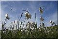 HP6414 : Common Cotton-grass (Eriophorum angustifolium), Norwick : Week 27