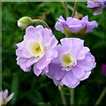 SO6424 : Double Geranium by Jonathan Billinger