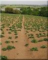 SX4263 : Potato field near Cargreen by Derek Harper