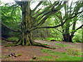 TQ2130 : Beeches, St. Leonard's Forest by Robin Webster