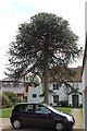 SK8270 : Monkey Puzzle Tree, High Street, South Clifton by J.Hannan-Briggs