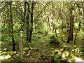 TQ2733 : Oak plantation, Tilgate Forest by Robin Webster